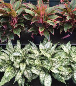 Dwarf Shrubs Florida Nursery Mart
