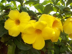 Allamanda Vine, Yellow