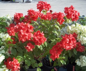 Mussaenda, Double Red