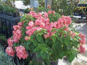 Mussaenda pink florida nursery mart this large shrub has large pink flowers that hang on the plant during spring summer and fall they are a beautiful dwarf tree that shows off its beauty mightylinksfo