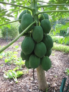 Papaya Is A Sweet Juicy Fruit And It S Great For You Too Can Eat Fresh When Ripe Or Use Still Green Salads