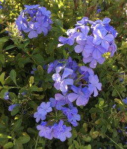 Plumbago, Blue