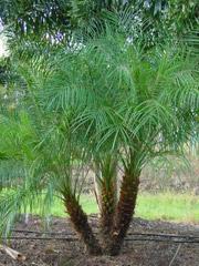 Pygmy Date Palm Florida Nursery Mart