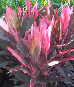 Red Sister Ti Florida Nursery Mart