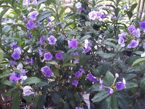 Yesterday today tomorrow florida nursery mart the yesterday today and tomorrow plant displays gorgeous purple and white flowers in the winter during this time they flower abundantly adding color to mightylinksfo
