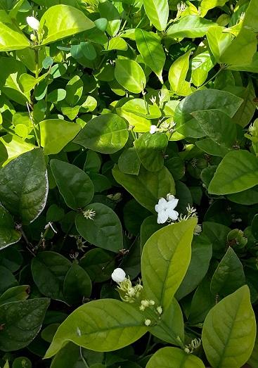 Jasmine, Sambac