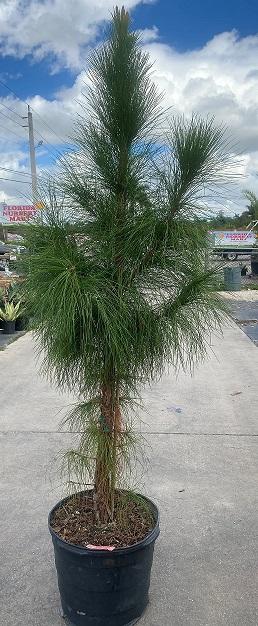 Slash Pine, South Florida