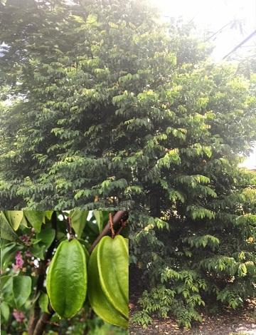 Carambola / Starfruit