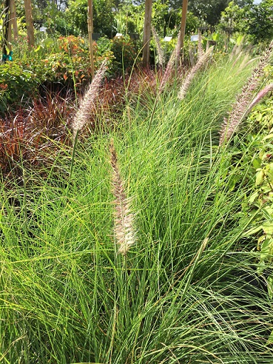 Fountain Grass, White
