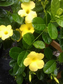Mandevilla, Yellow