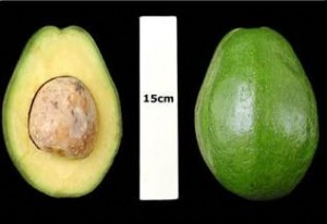 Simmonds Avocado