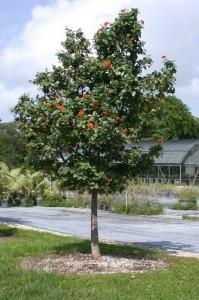 Beautiful Flowering Trees Florida Nursery Mart