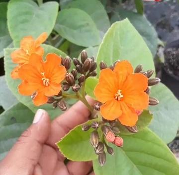 Geiger, Orange