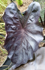 Colocasia, Black Coral