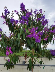 Purple Glory Tree