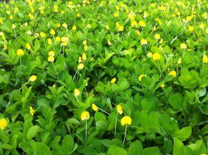 Peanut perennial florida nursery mart mightylinksfo