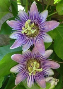 Passion Flower, Blue