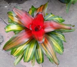 Bromeliad 'Freddie'