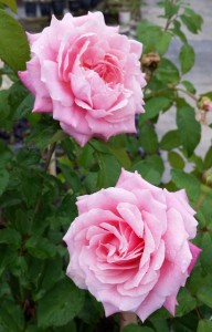 Rose Bush, 'Belinda's Dream'