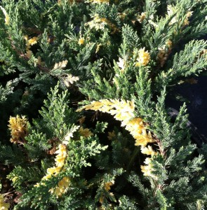 Juniper, Variegated Parsons