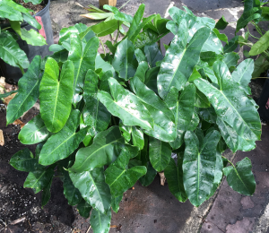 Philodendron, Burle Marx