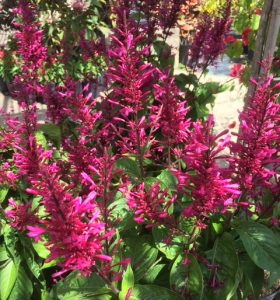 Purple Firespike
