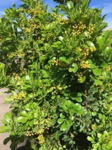 Chinese Perfume Tree