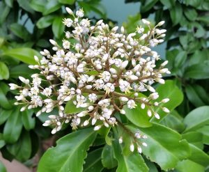 Marlberry florida nursery mart marlberry can be grown as a small tree or bush this florida native has fragrant white flowers which then lead to clusters of dark berries mightylinksfo