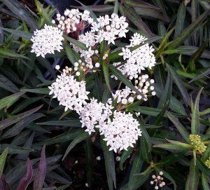 Milkweed, Swamp