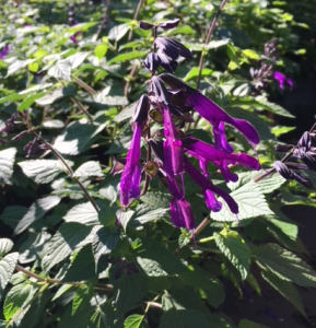 Salvia, Purple