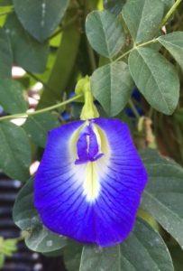 Blue Pea Vine