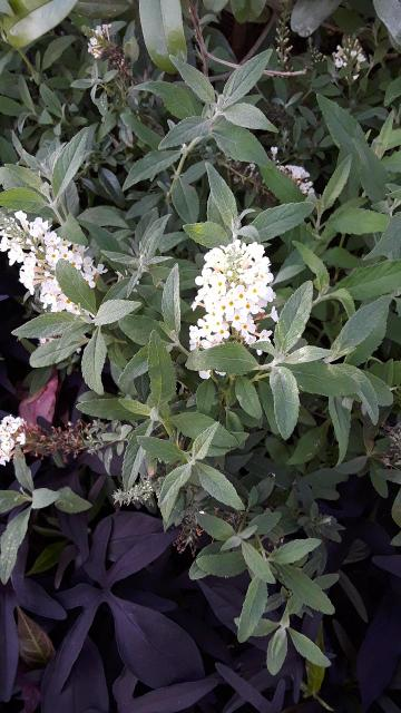 Butterfly Bush, White
