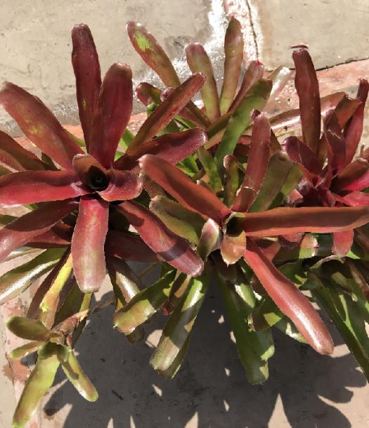Bromeliad, Fireball