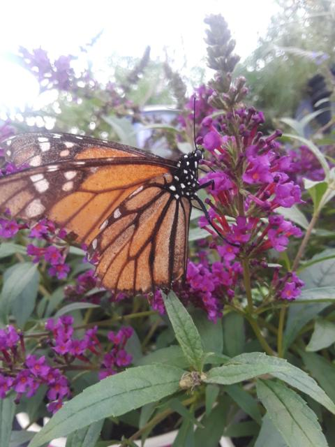 Butterfly Bush, Purple