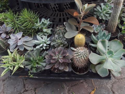 Cactus / Succulent Assortment