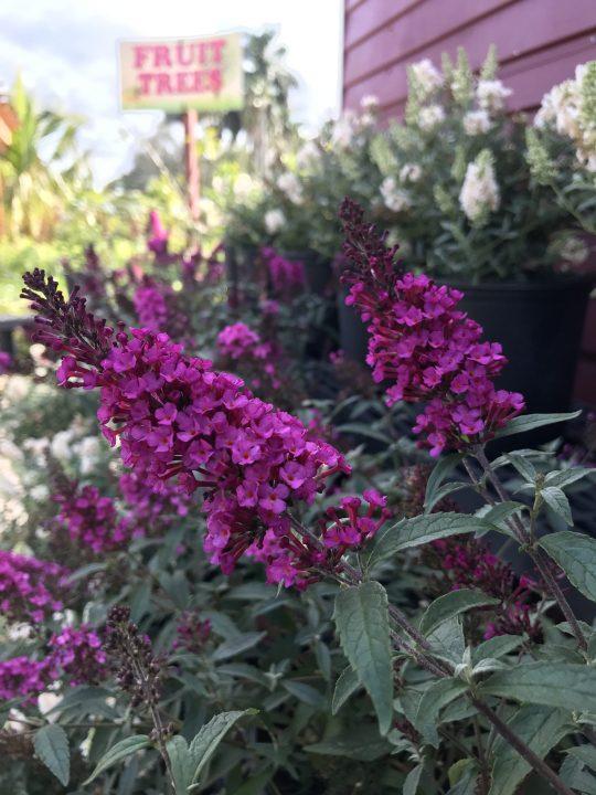 Butterfly Bush, 'Hot Raspberry'
