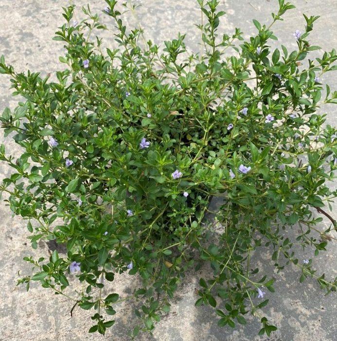 Twin Flower, Oblong