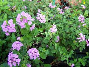 Lantana, Purple