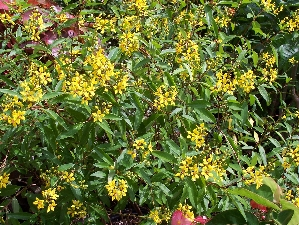 Thryallis florida nursery mart thryallis is a shrub which will get bushy and has a yellow flower that covers the shrub all year round best used as a backdrop bush with color or to fill mightylinksfo