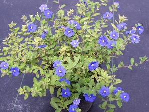 Blue Daze Is A Simple Groundcover That Has Flower And Blooms All Year Long It Doesn T Spread Out Of Control But Rather Slightly Bushes Up