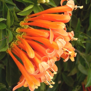 Florida Flame Vine