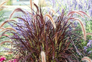 Fountain Grass, Red