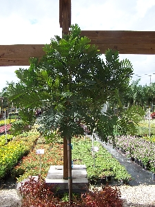 Japanese Fern Tree