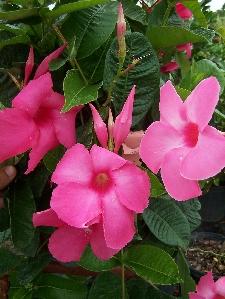 Mandevilla, Pink