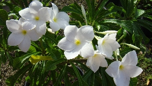 Plumeria, Dwarf White