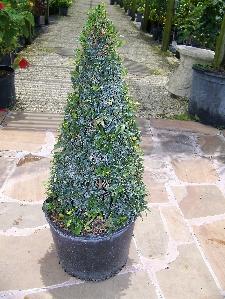 Eugenia Topiary, Cone