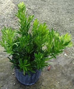 Podocarpus, Dwarf