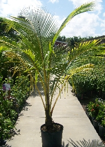 Coconut Palm Florida Nursery Mart