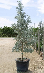 Silver Buttonwood