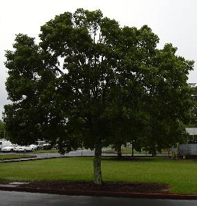 Green Buttonwood Florida Nursery Mart